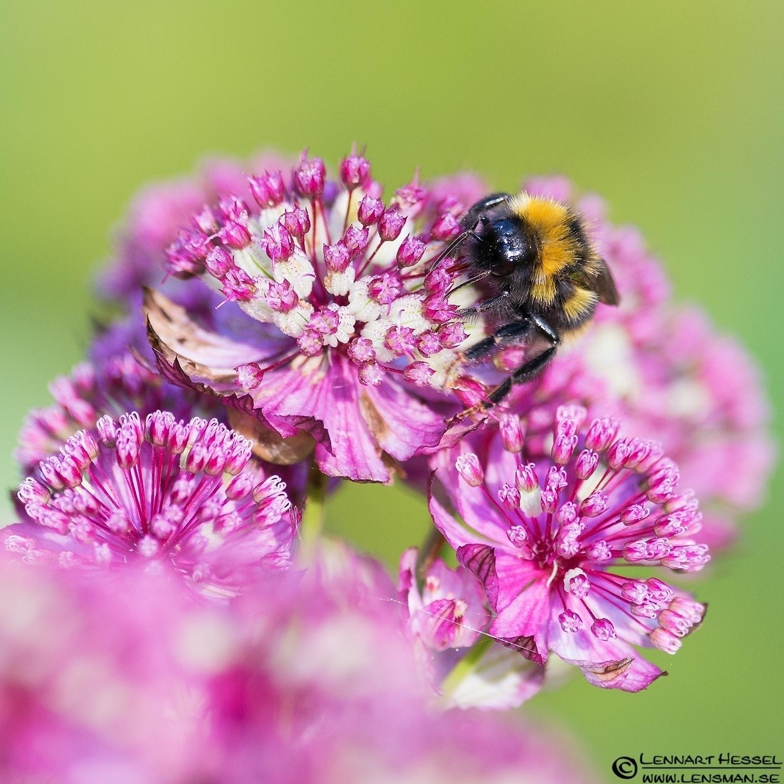 Bee sucking nectar