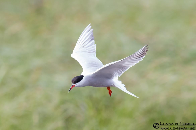 Common Tern, nossebro