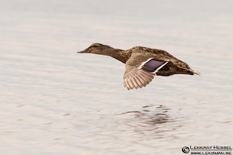 Mallard Duck, nossebro
