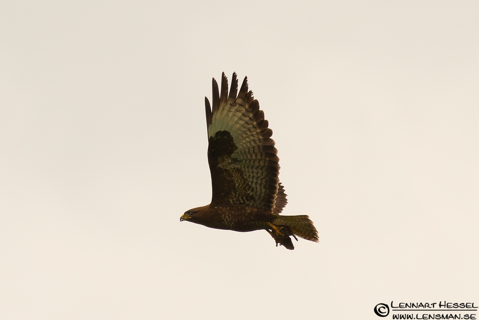 Common Buzzard with a kill