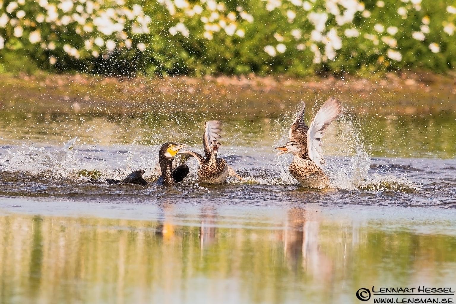 Great Cormorant cased by Gadwalls