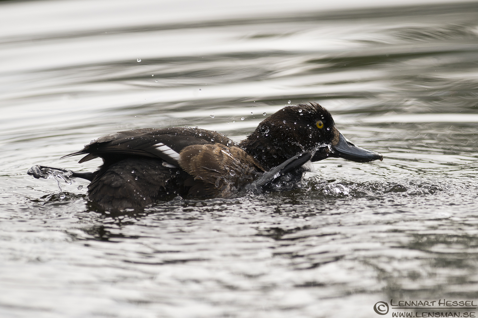 Tufted Duck scrubbing