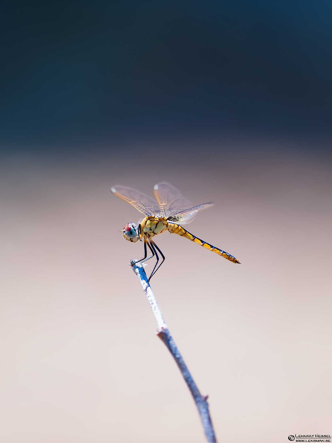 Dragonfly Moremi Game Reserve, Botswana cover