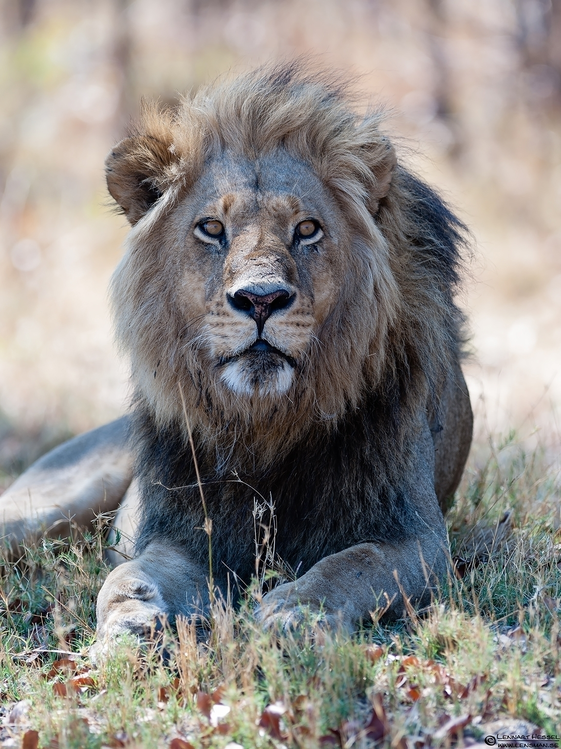 Lion photo from Moremi Game Reserve, Botswana cover