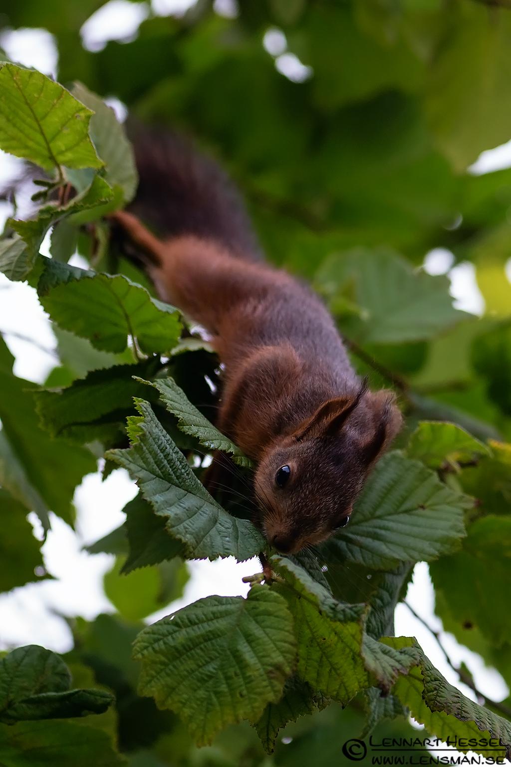 Red squirrel climbing down, botanical