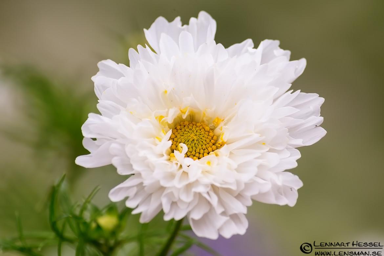 White flower, botanical