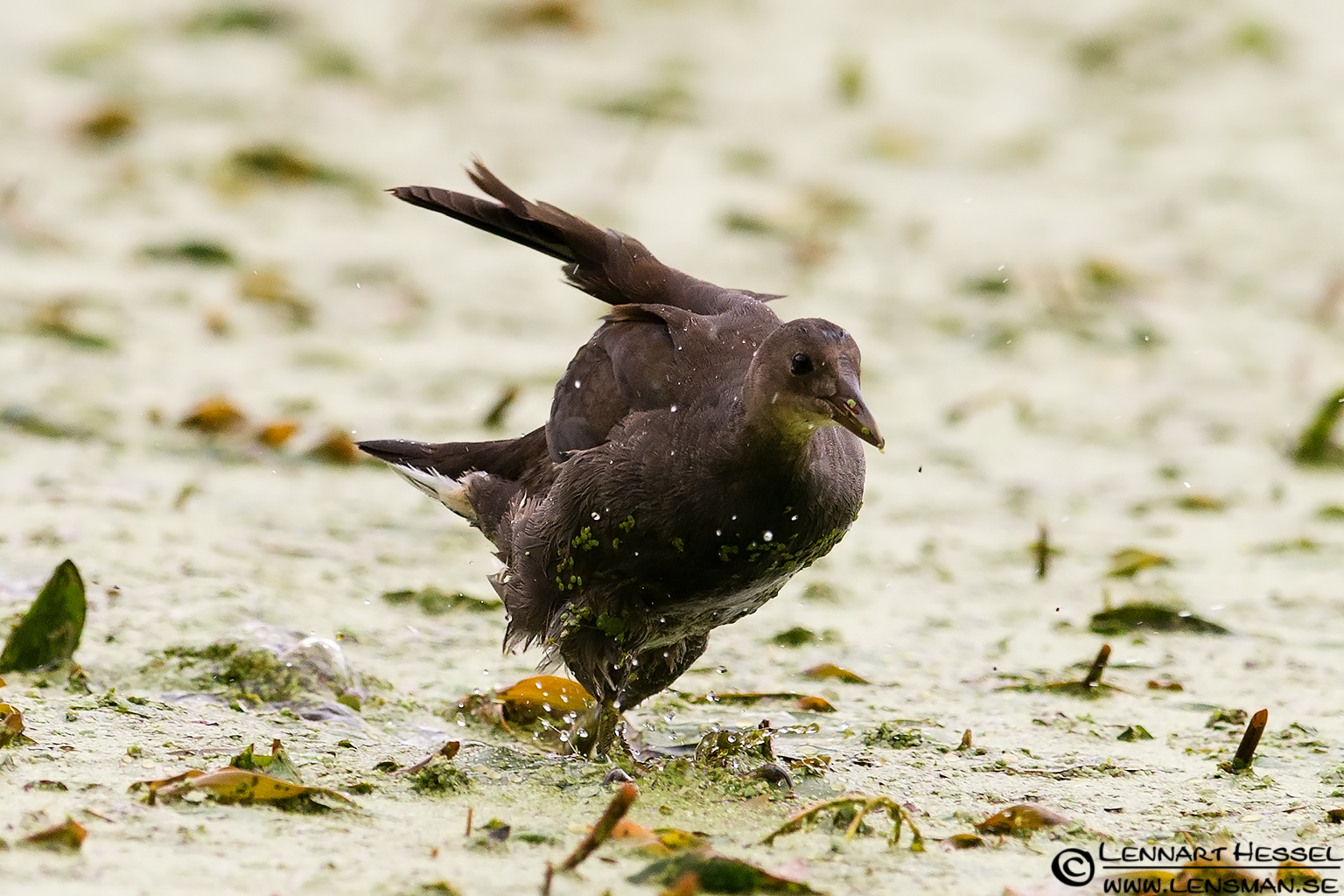 Common Moorhen crossed wings
