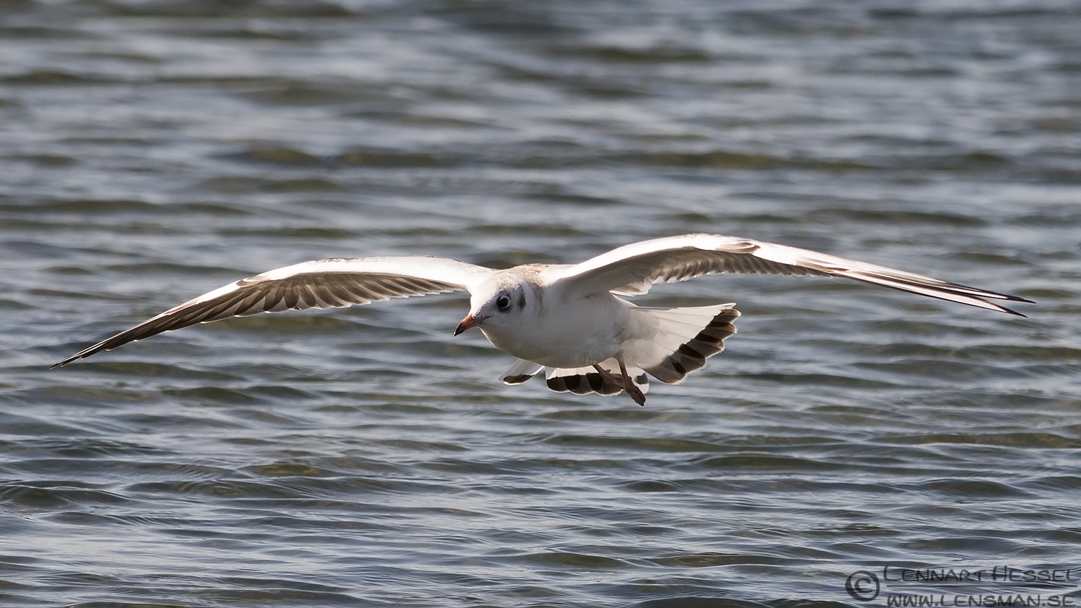 Black-headed Gull Öland 2012