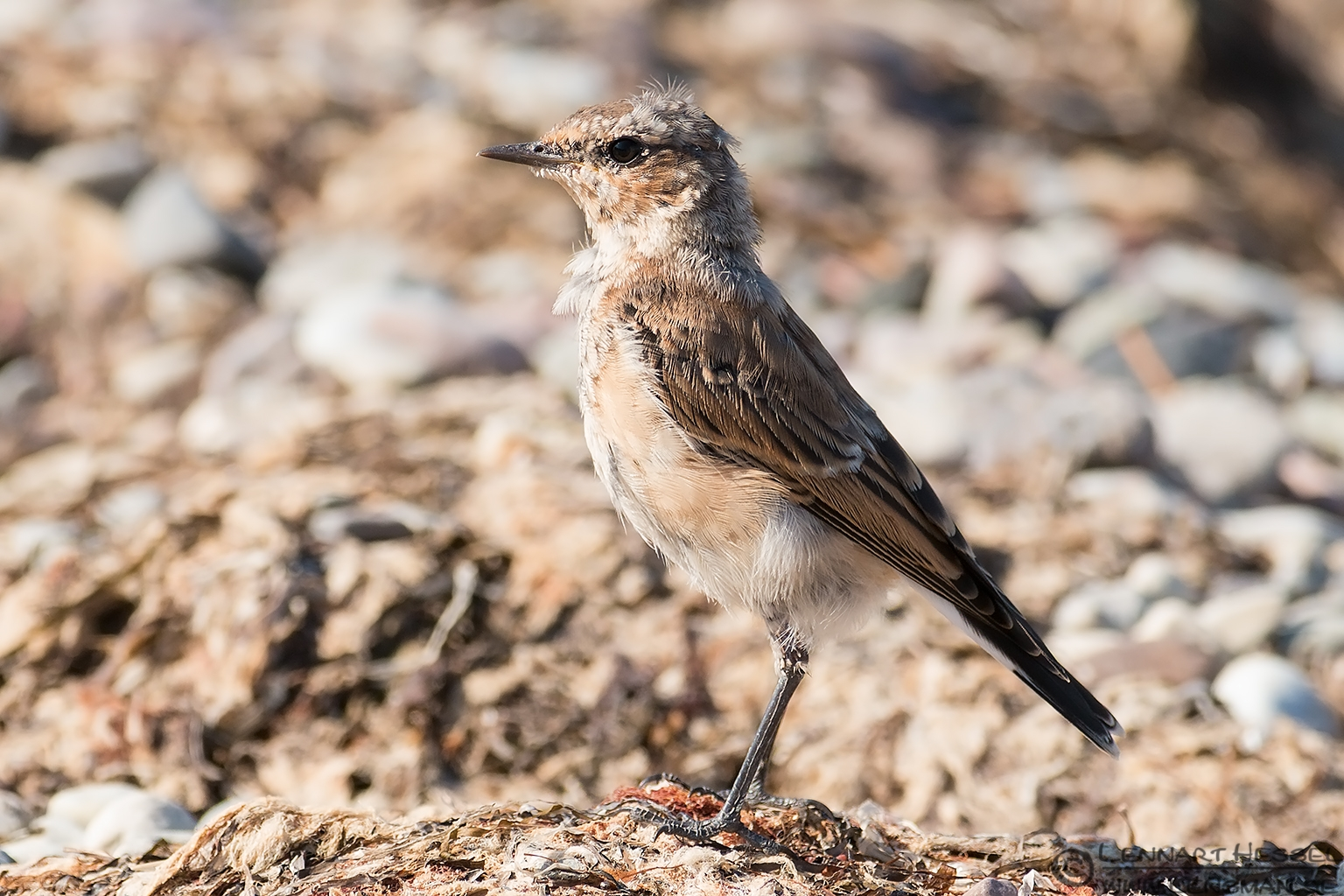 Northern Wheatear pose Öland 2012