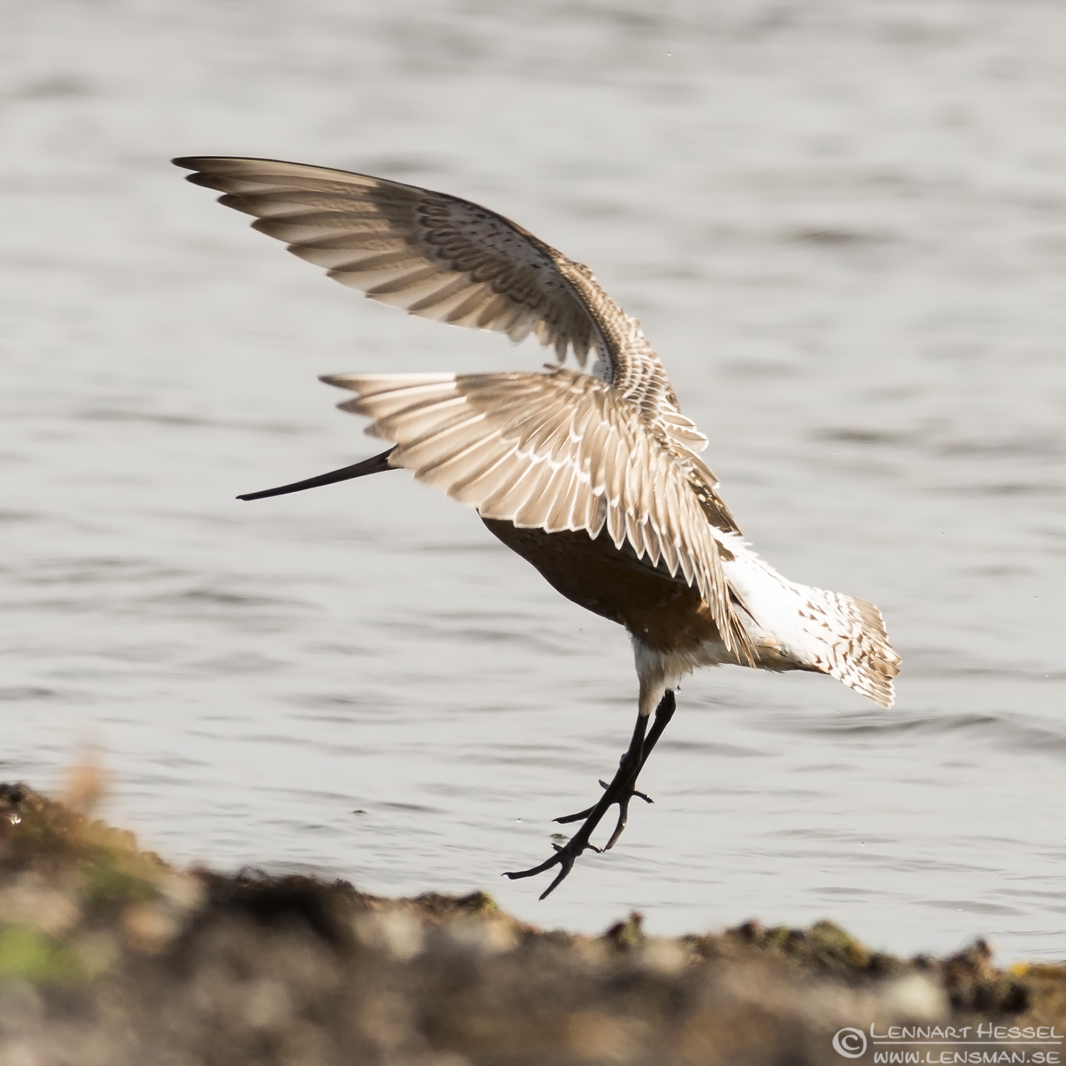 Bar-tailed Godwit landing Öland 2012