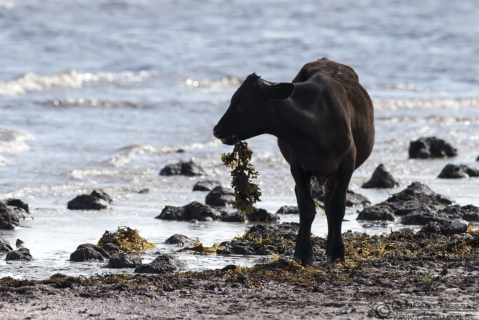 Calf with a special diet Öland 2012