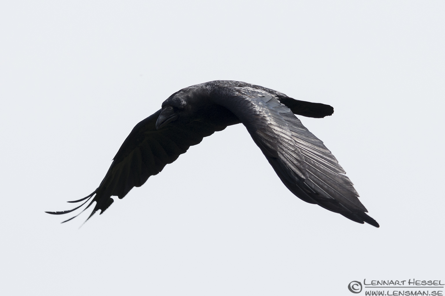 Common Raven Öland 2012