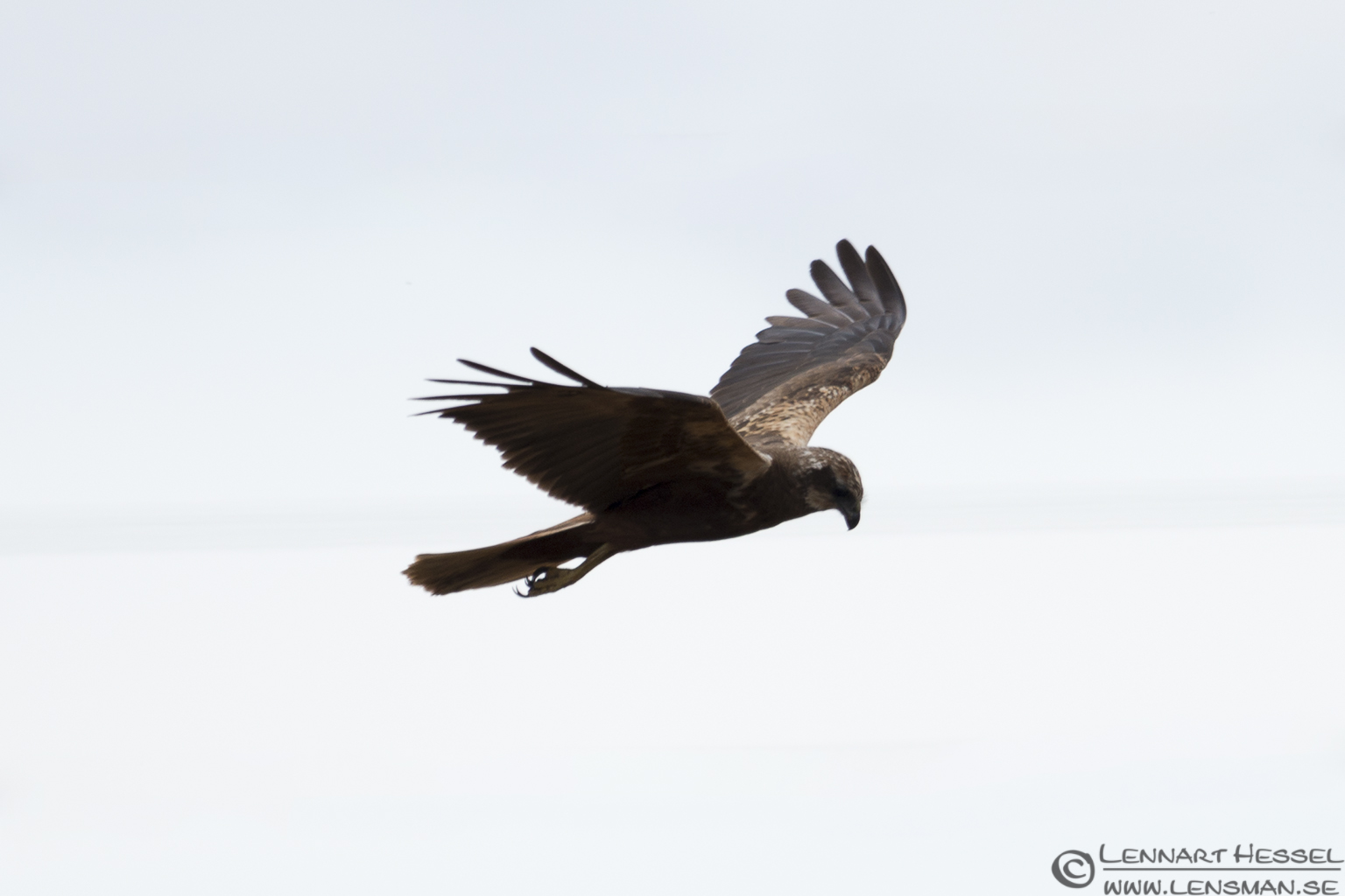 Female Marsh Harrier Öland 2012