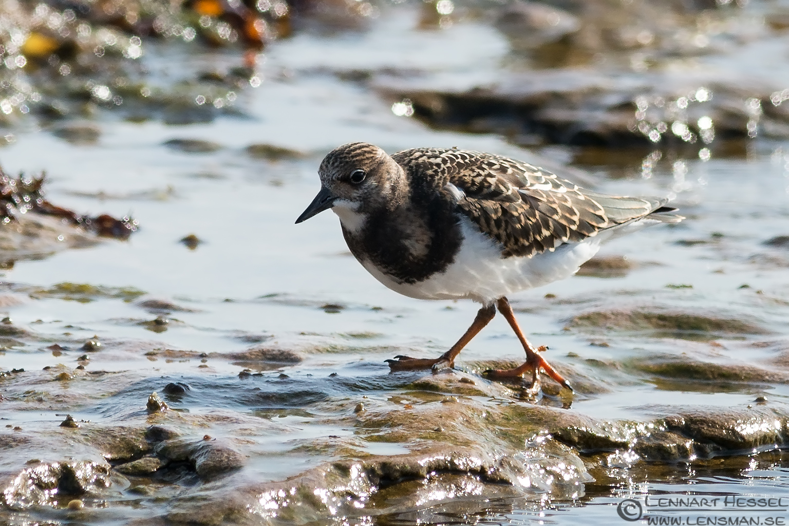 Juvenile Ruddy Turnstone on the move Öland 2012