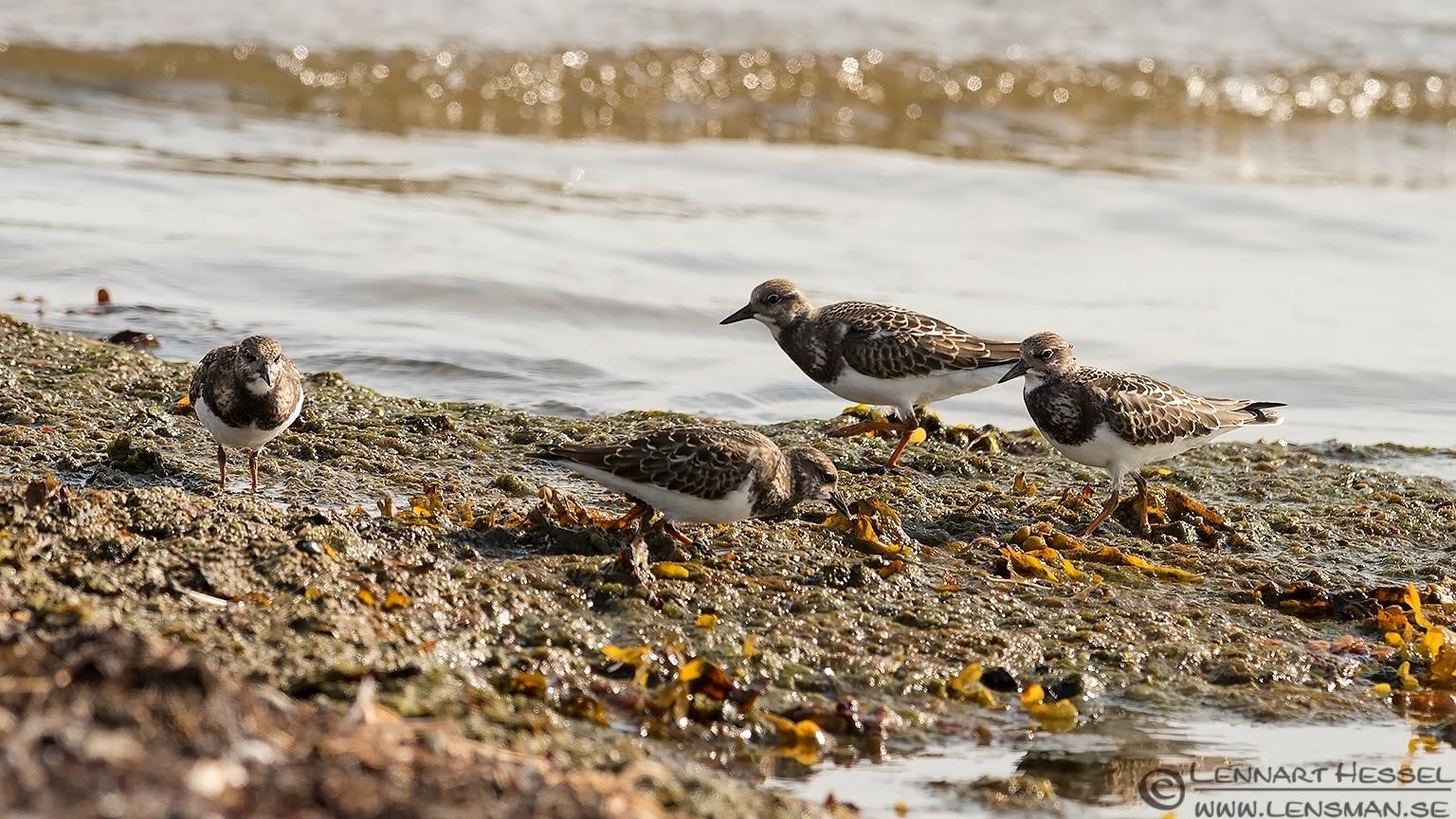 Juvenile Ruddy Turnstones Öland 2012