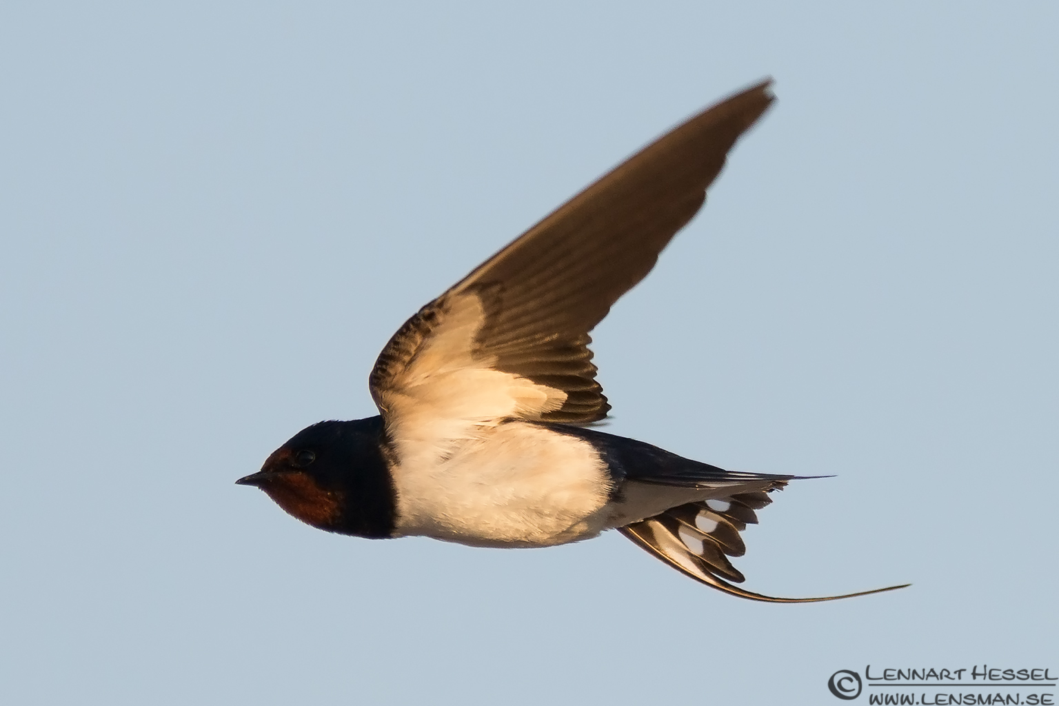 Barn Swallow acrobatics Öland 2012