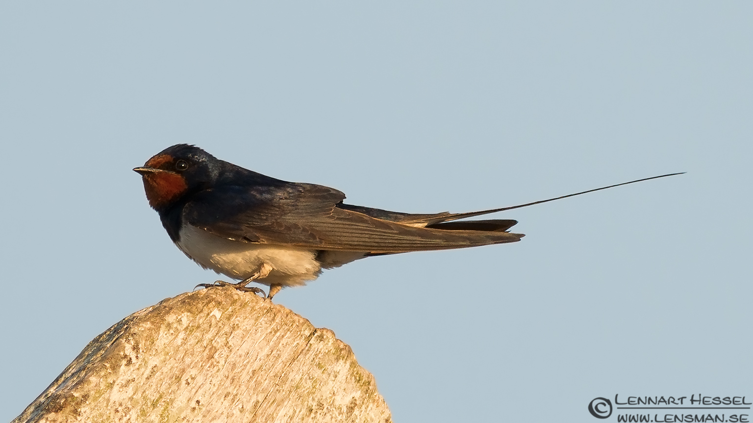 Barn Swallow sitting idle Öland 2012