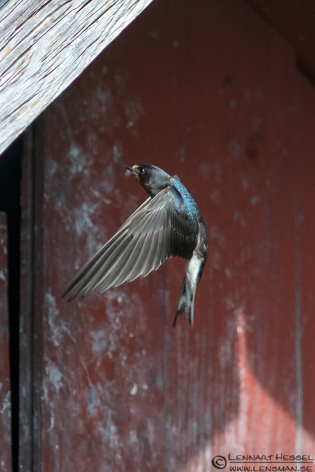 Barn Swallow Öland 2012