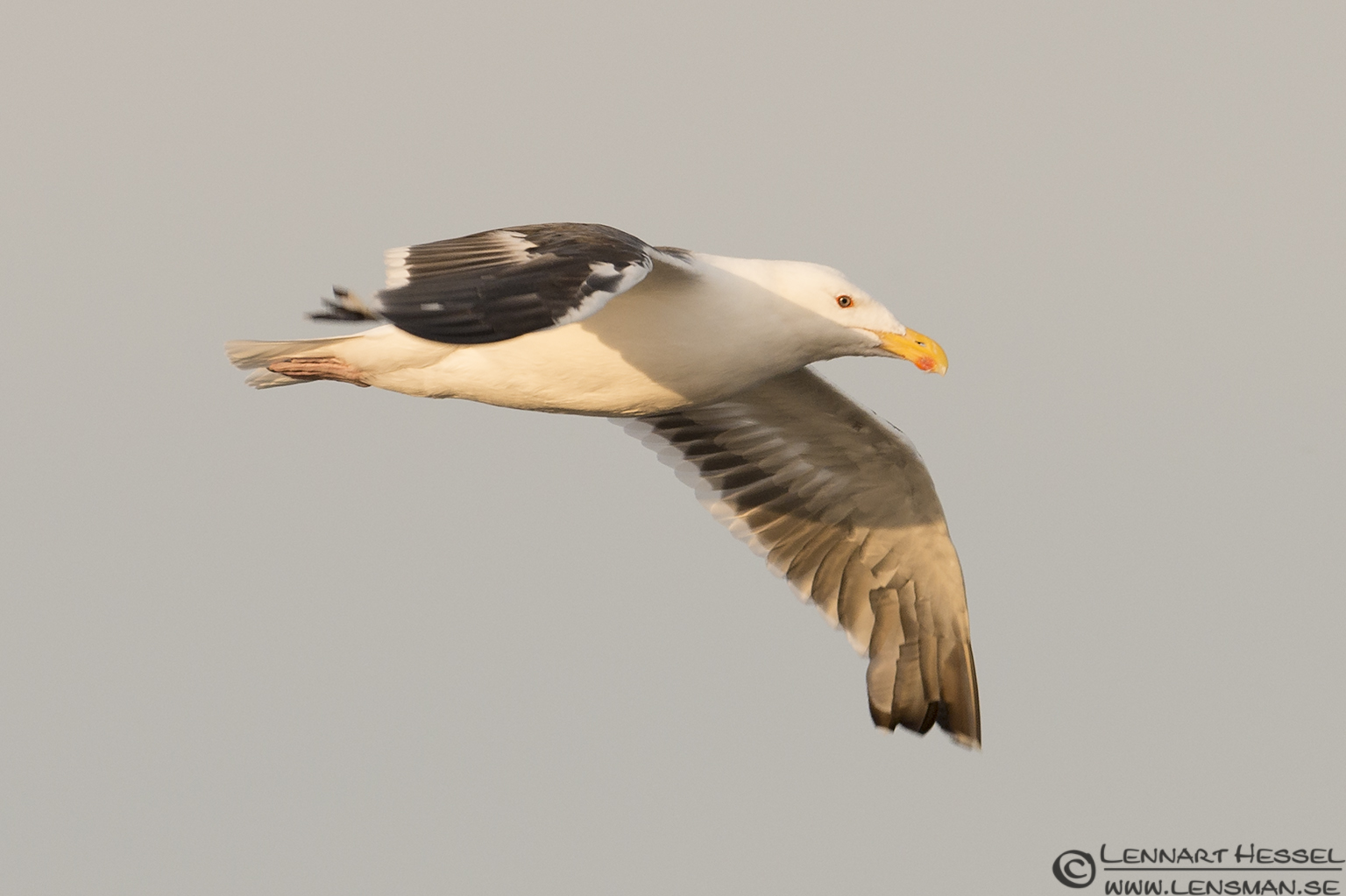 Lesser Black-backed Gull (Baltic Sea) Öland 2012