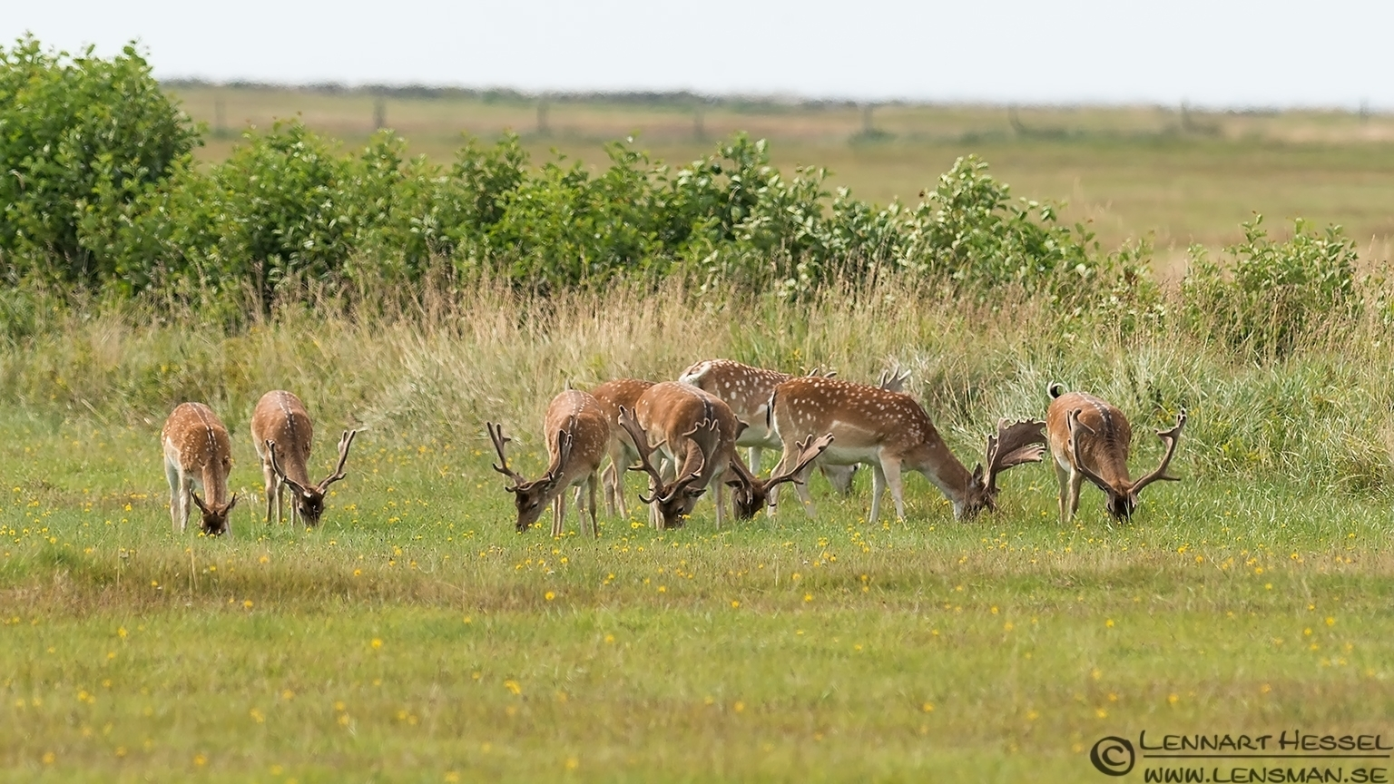 Red Deer male group grazing Öland 2012