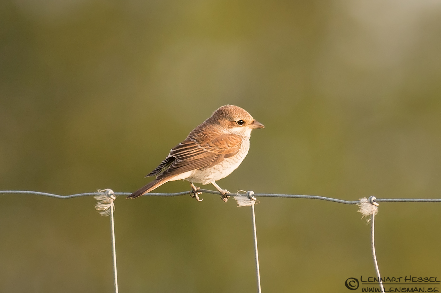 Red-backed Shrike Öland 2012