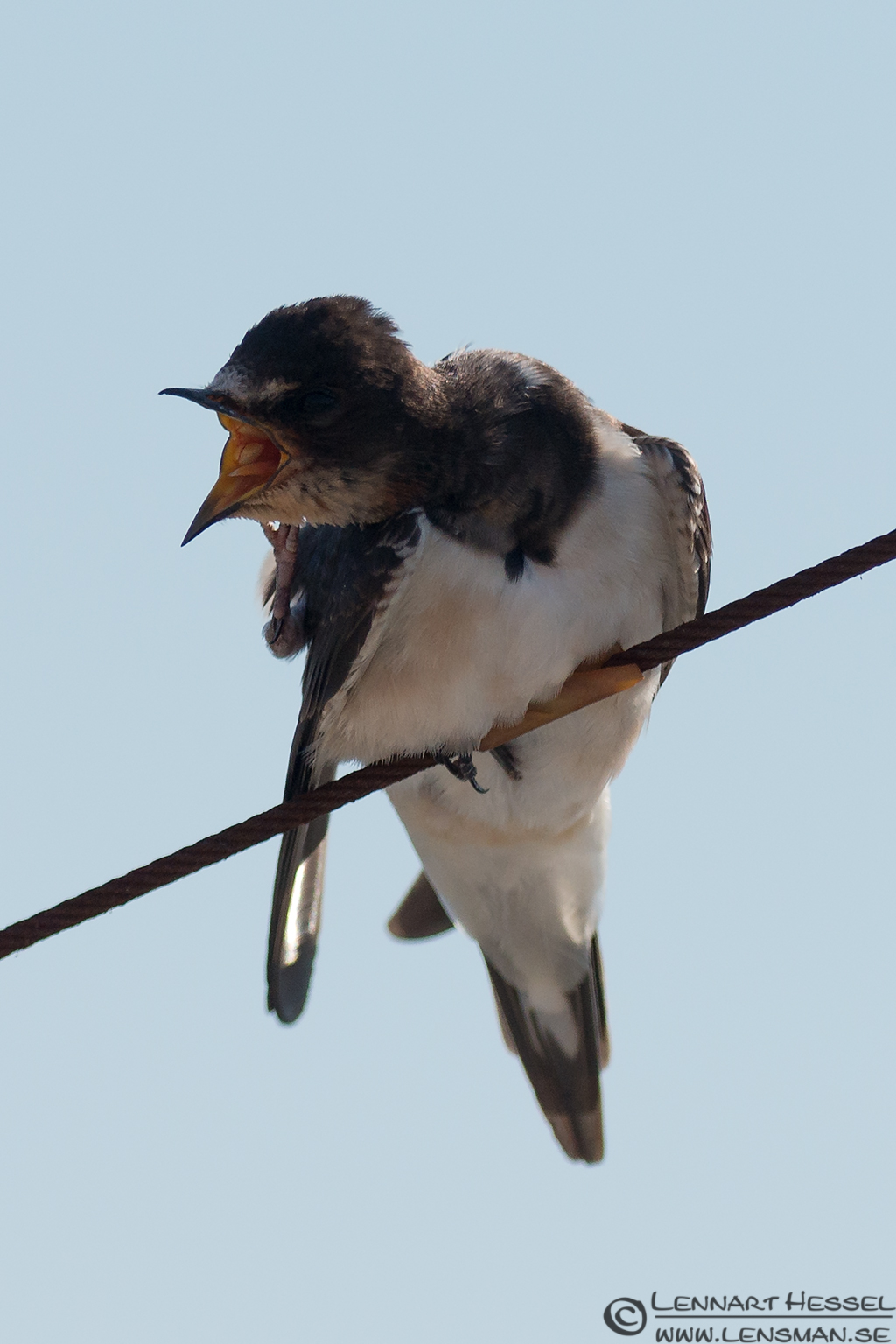 Barn Swallow gape Öland 2012