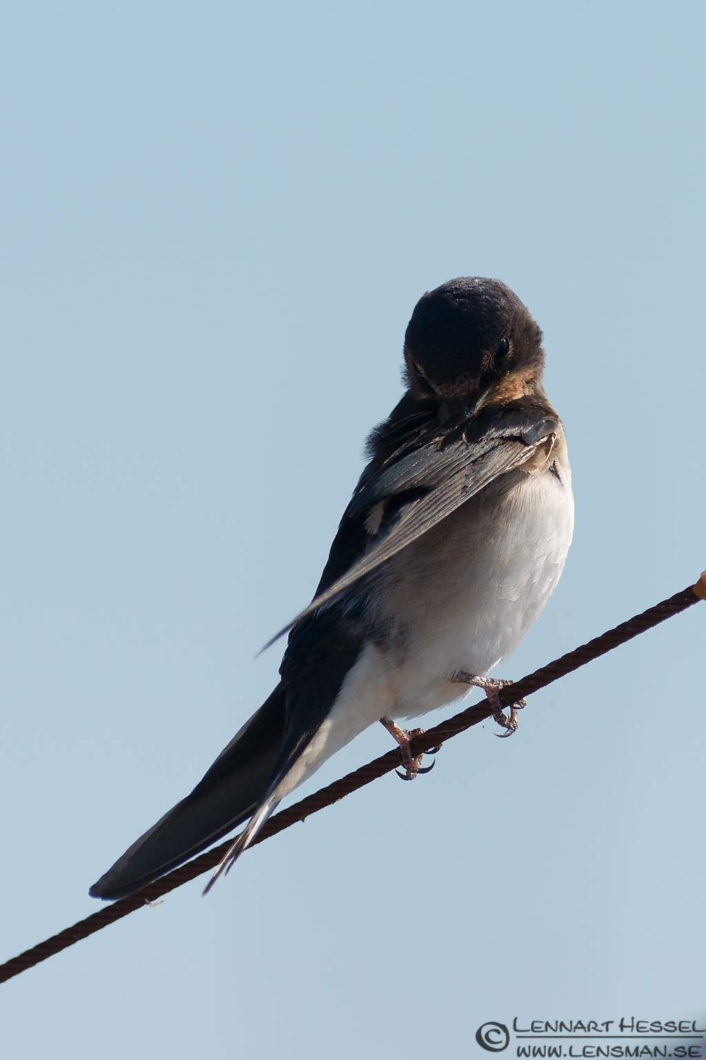 Barn Swallow look Öland 2012