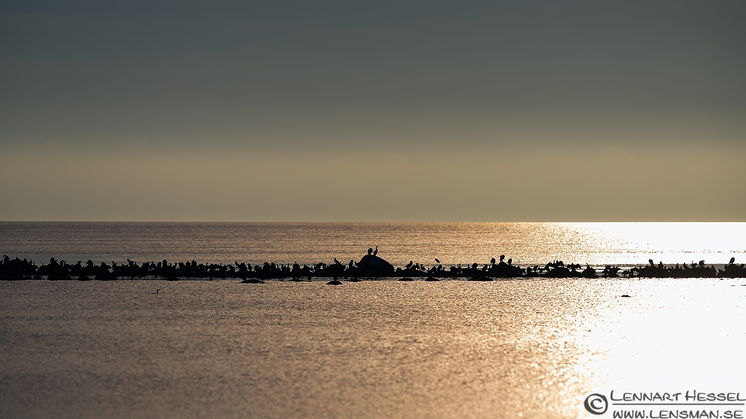 Great Cormorants on a row Öland 2012