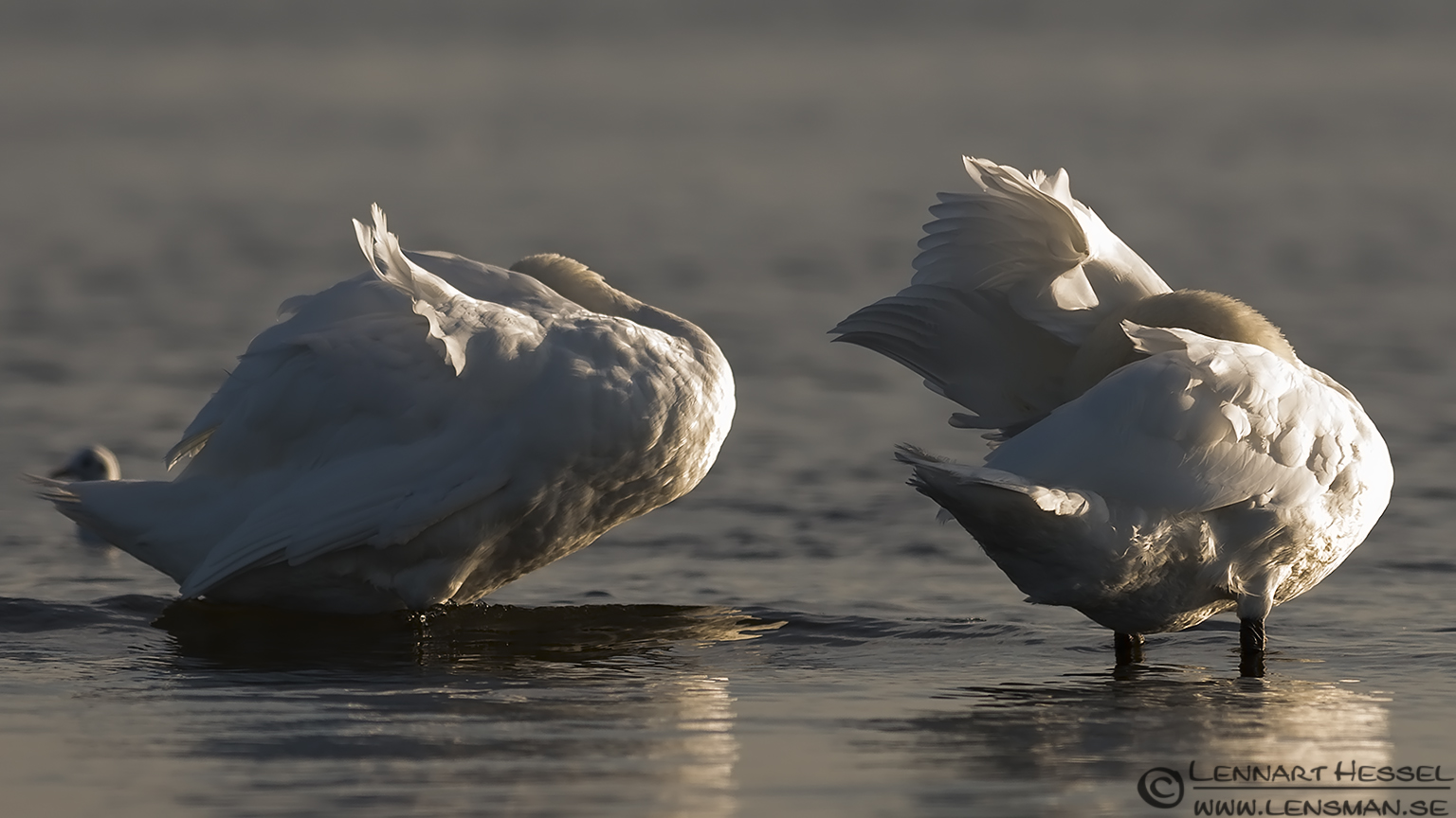Mute Swans cleaning Öland 2012