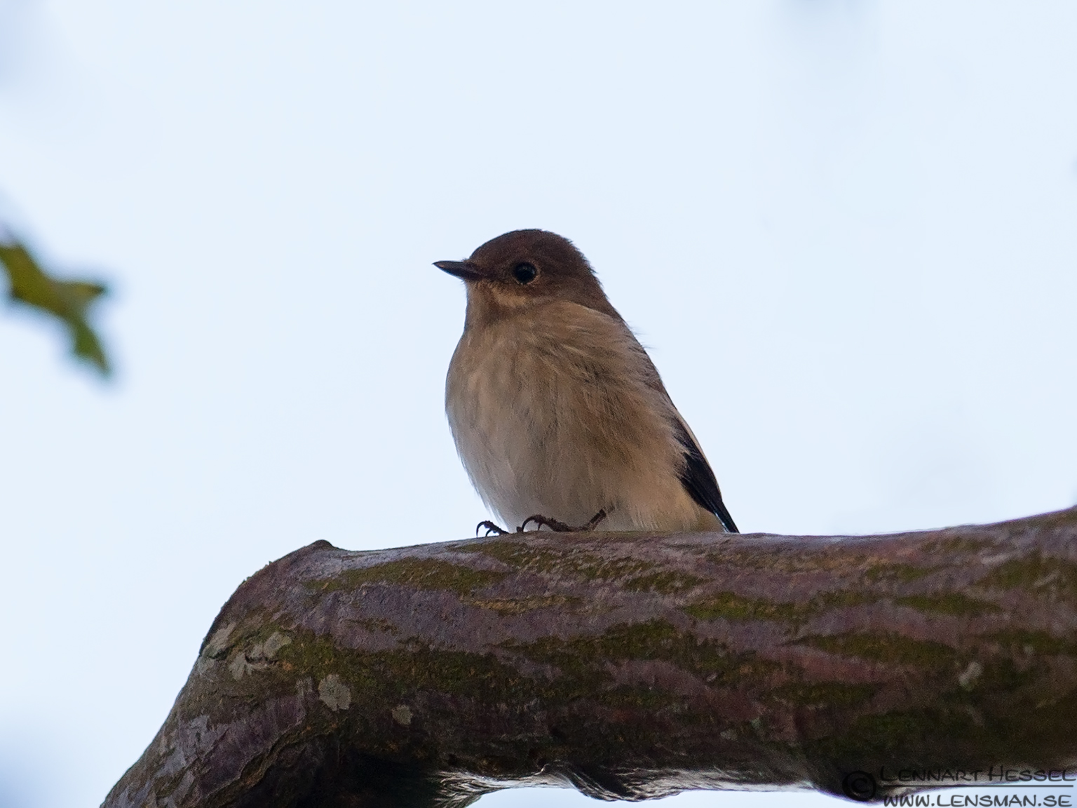 Pied Flycatcher female Öland 2012