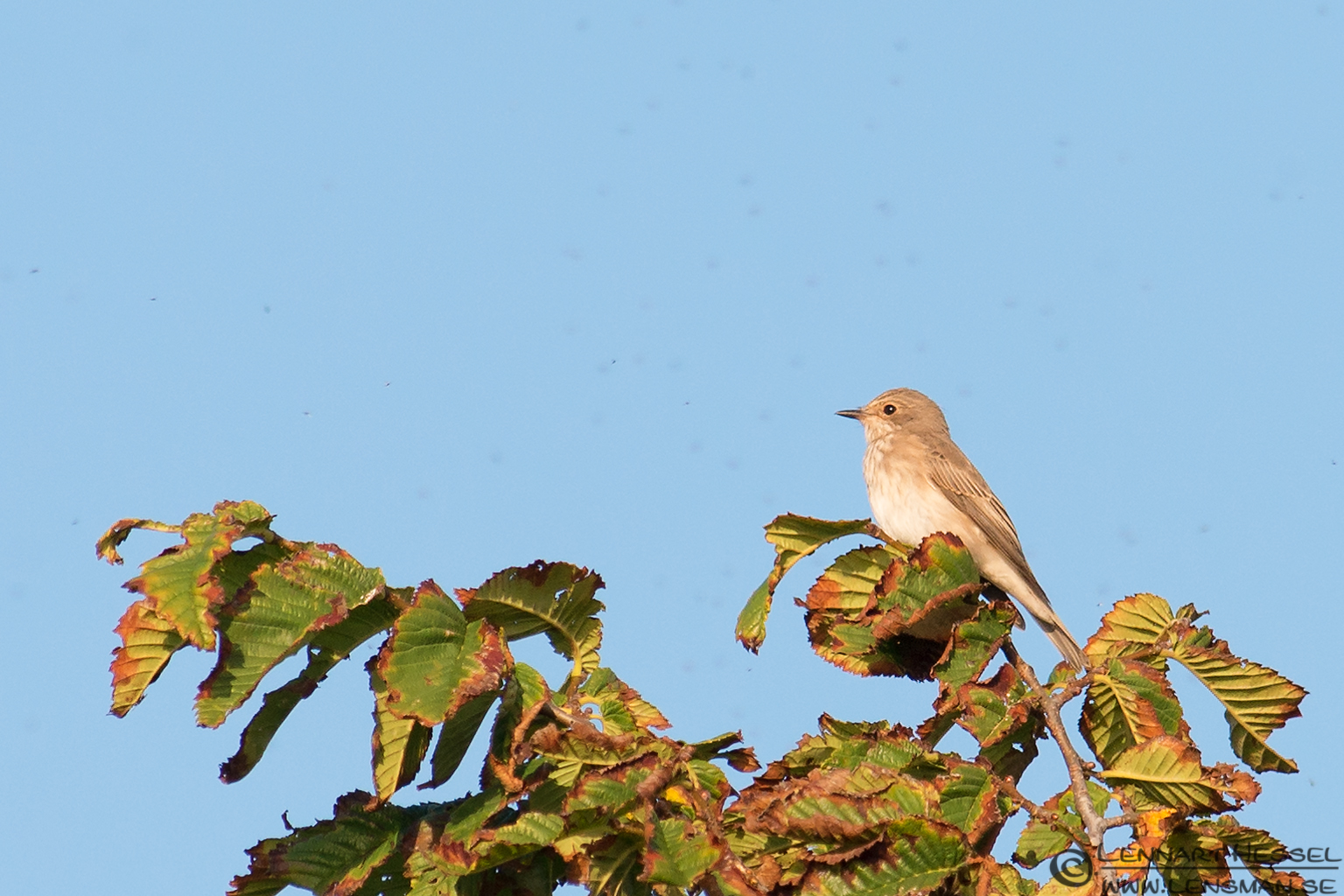 Spotted Flycatcher Öland 2012