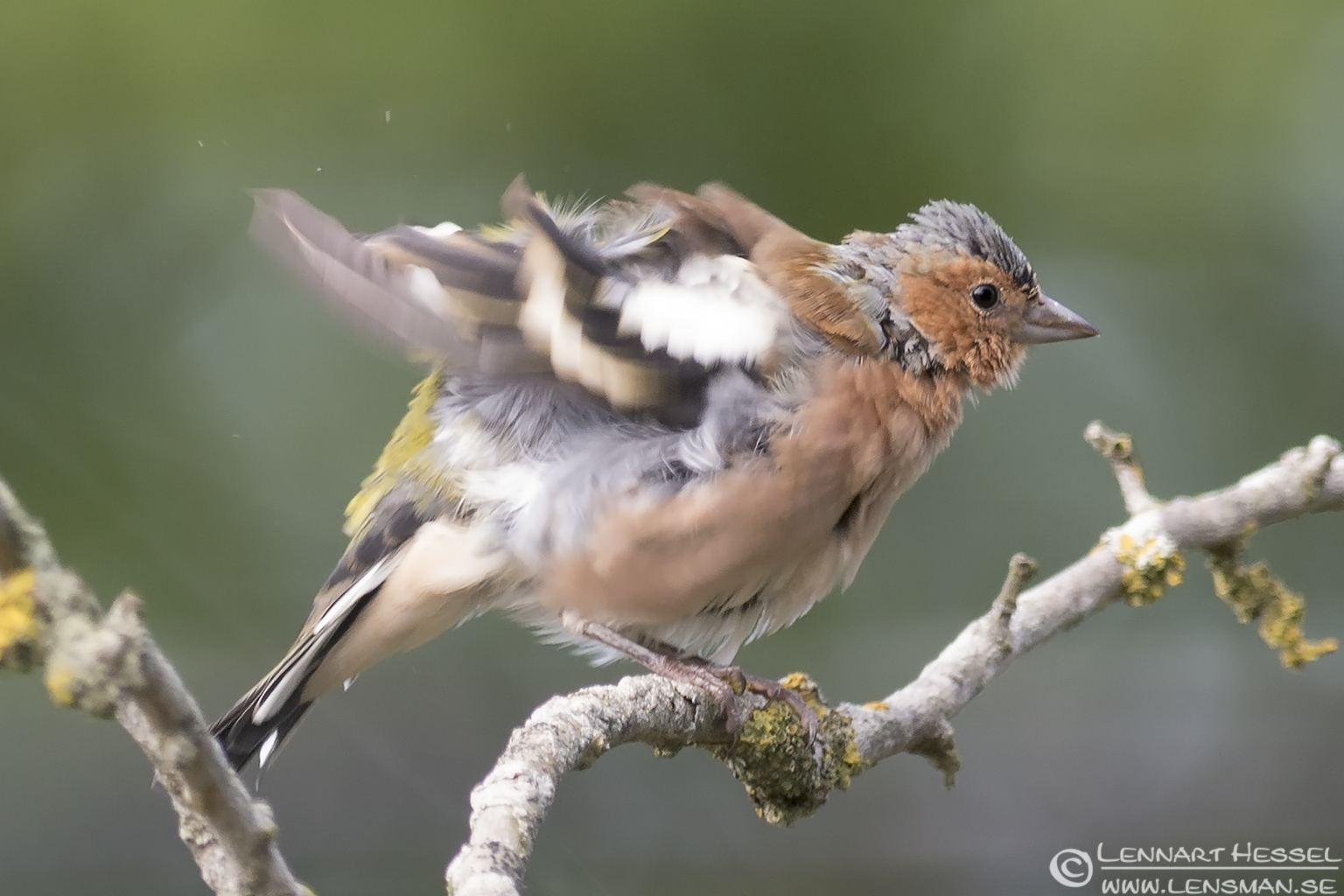 Chaffinch fluffy Öland 2012