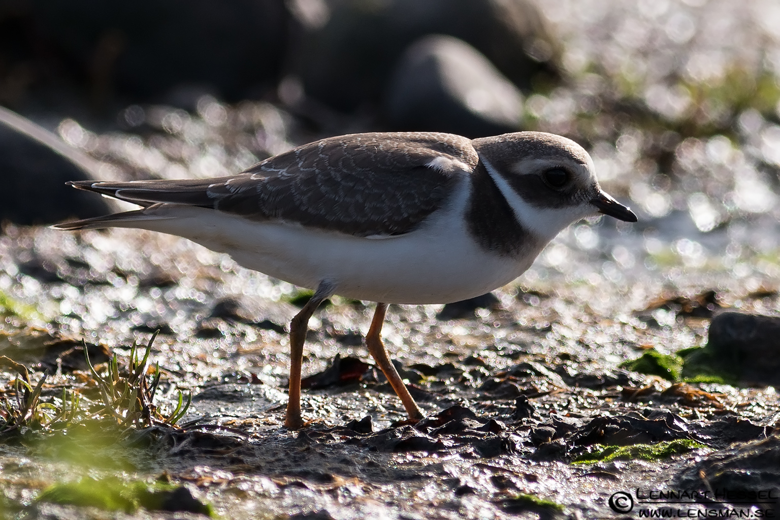 Common Ringed Plover autumn