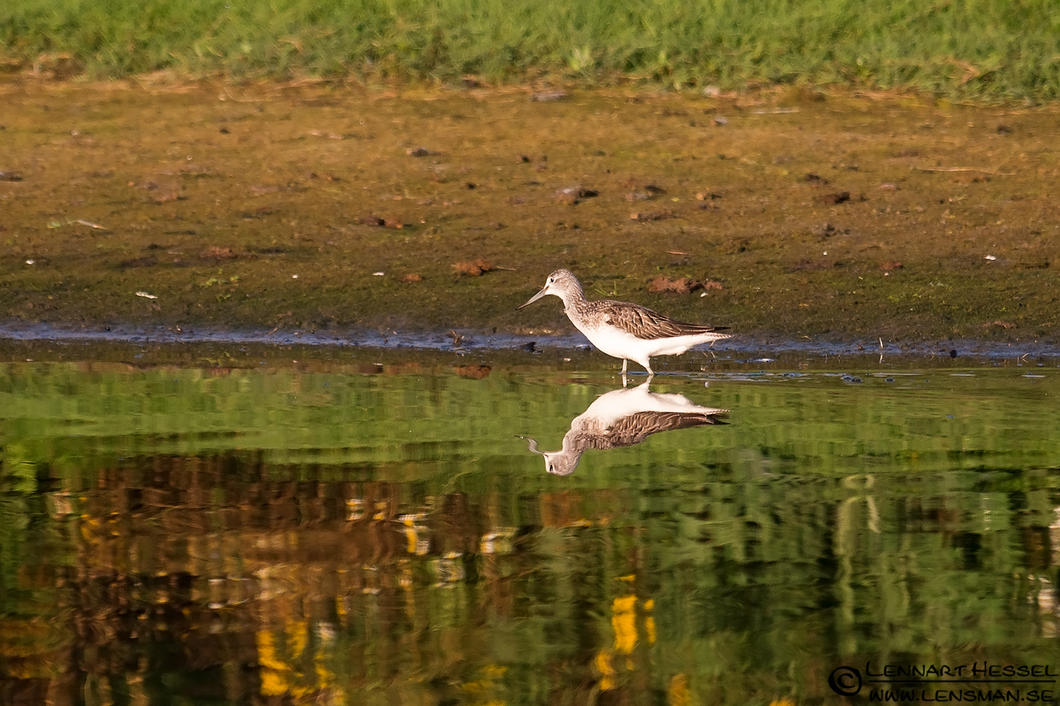 Wood Sandpiper autumn
