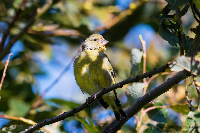 Greenfinch in the sun