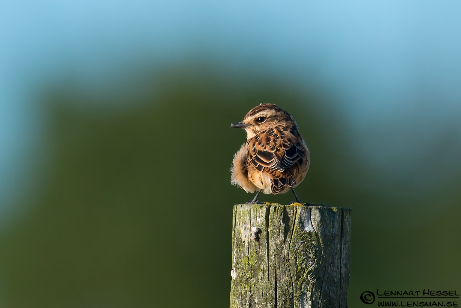 Whinchat on a pole Öland 2012