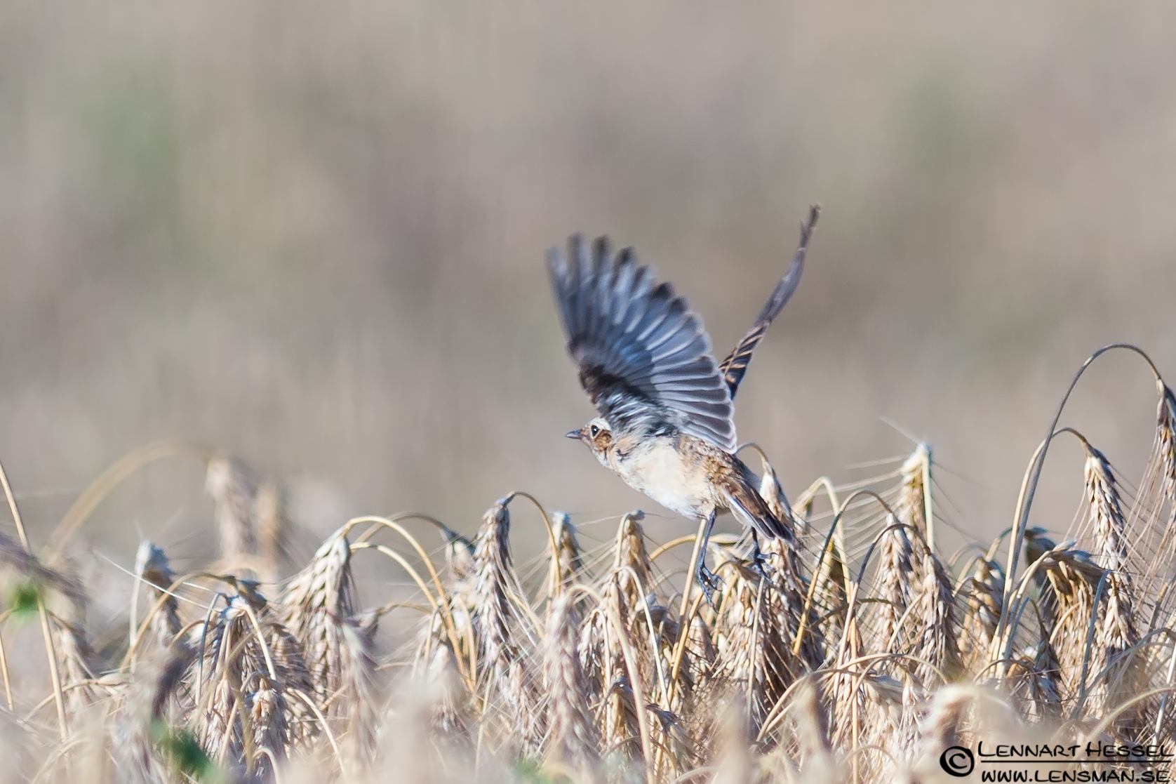 Whinchat take off Öland 2012