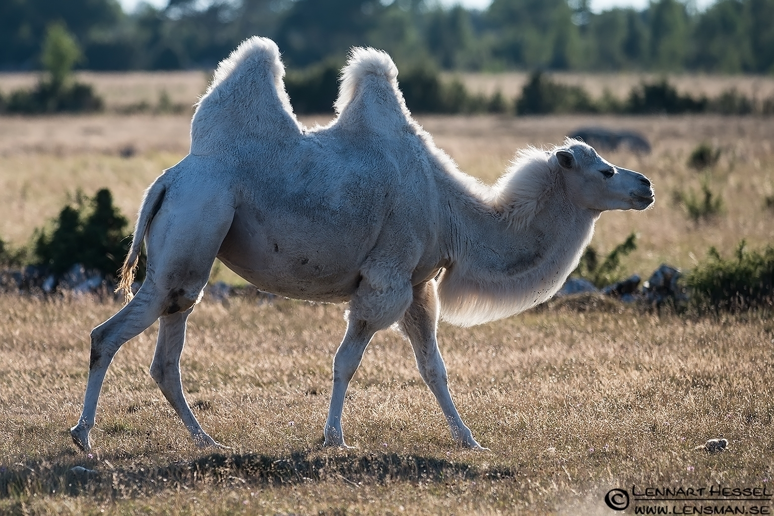 Camel Öland 2012