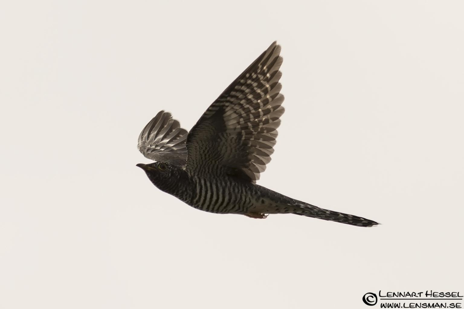 Cuckoo Öland 2012