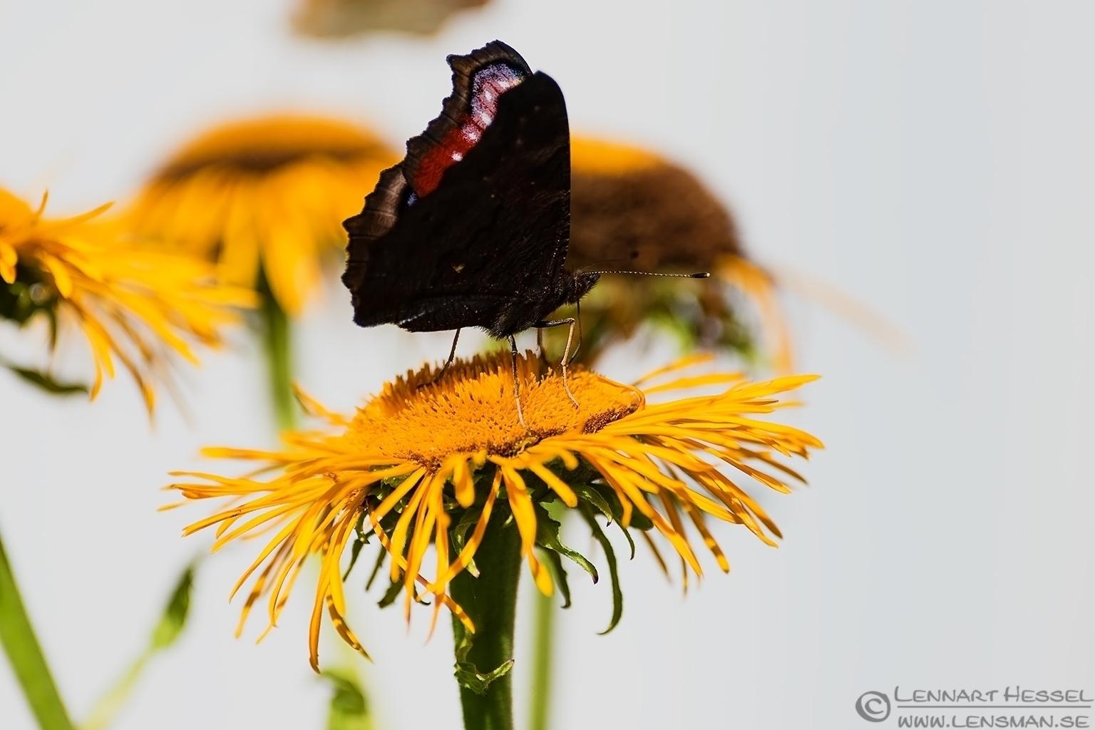 Butterfly Öland 2012