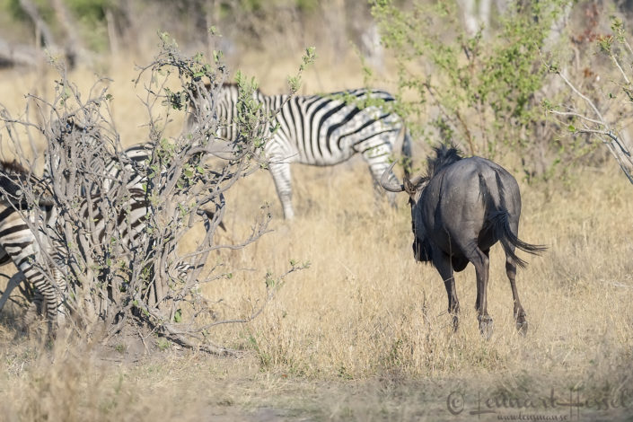 Blue Wildebeest & Zebras in Khwai Community Area, Botswana