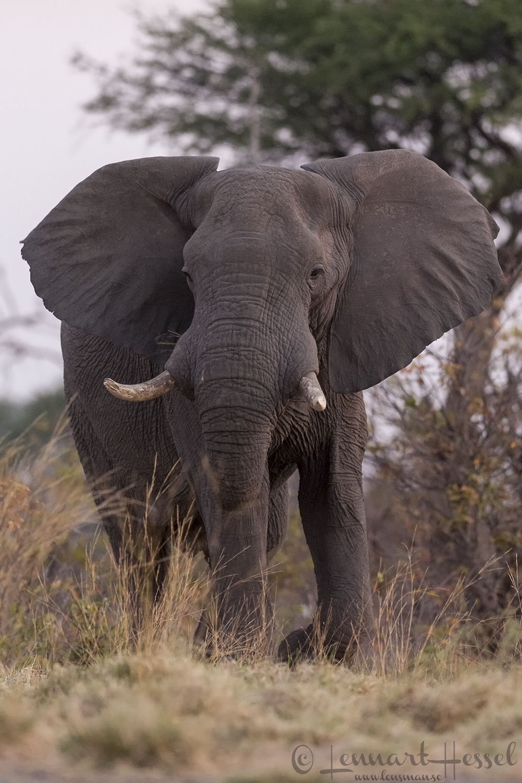 Elephant Bull in Khwai Community Area, Botswana