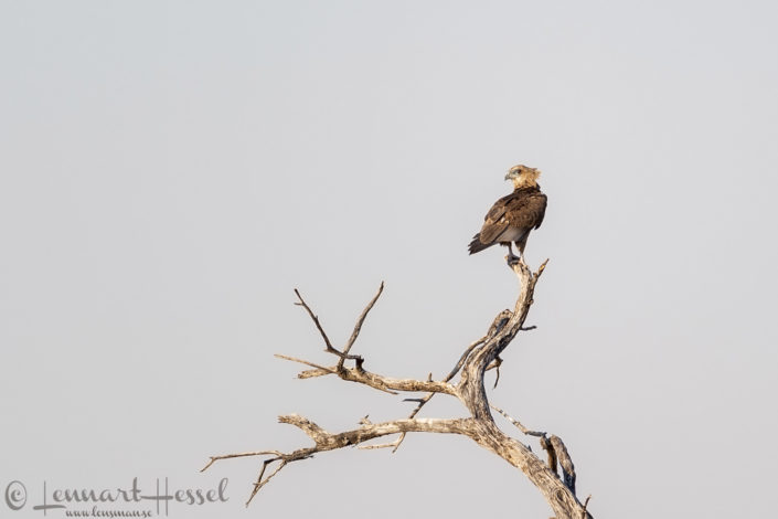 Marsh Harrier in Khwai Community Area, Botswana