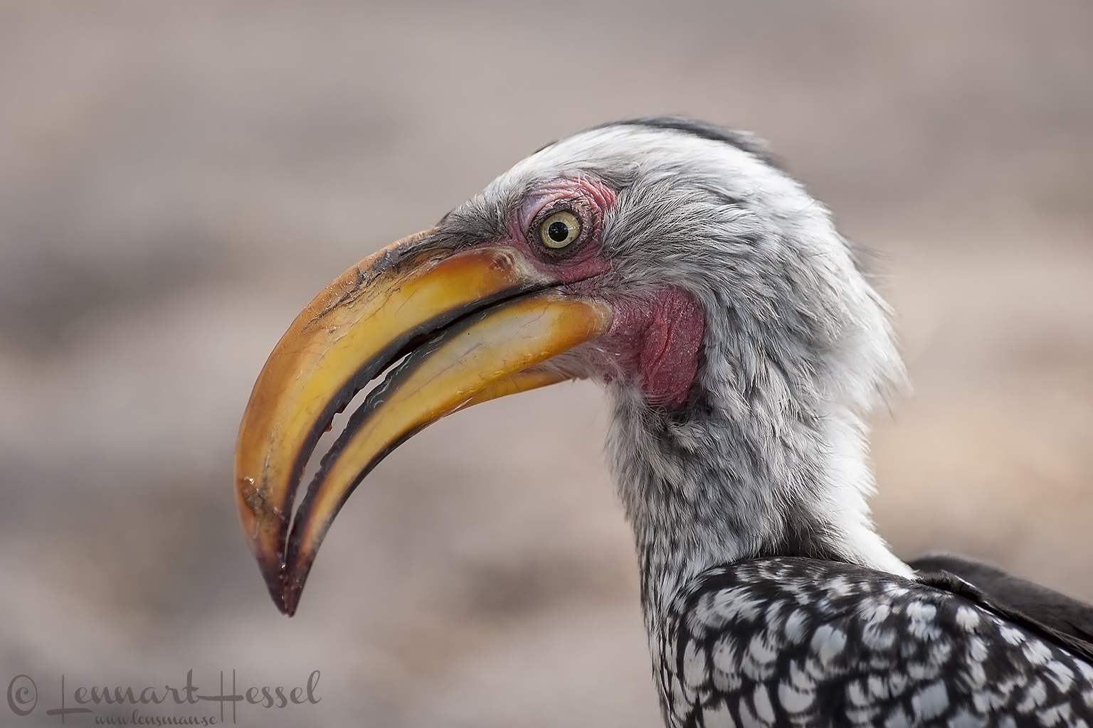 Southern Yellow-billed Hornbill in Khwai Community Area, Botswana