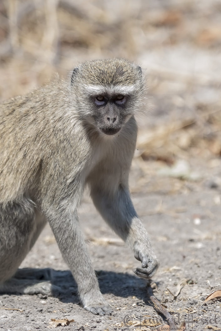 Monkey in Khwai Community Area, Botswana