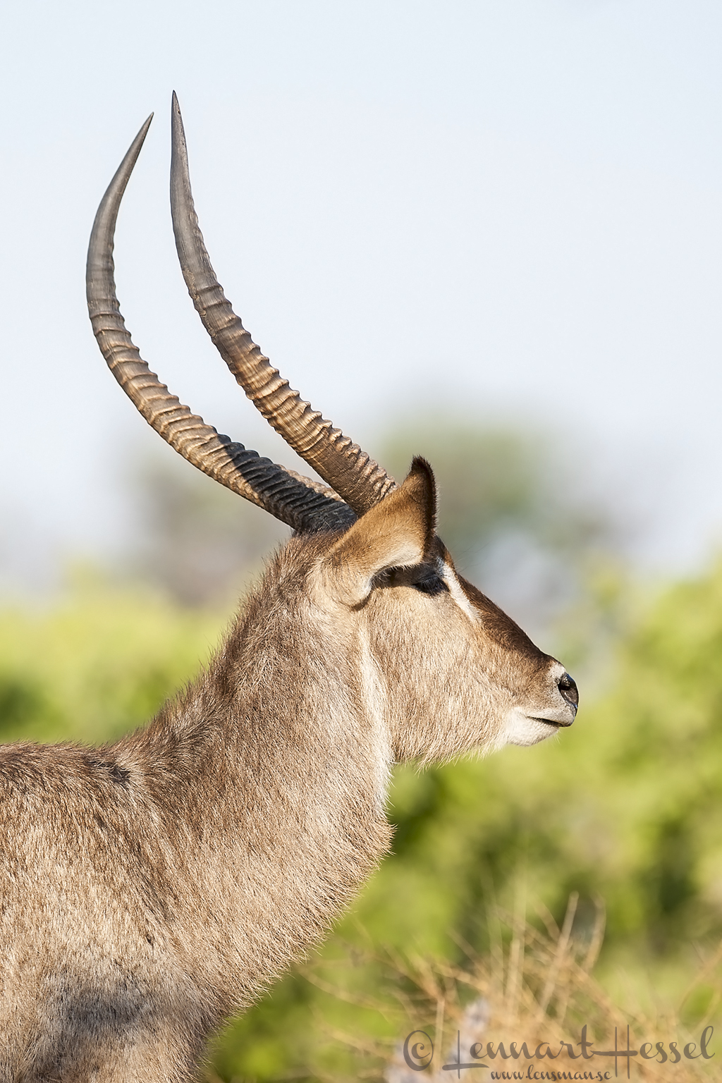 Waterbuck in Khwai Community Area, Botswana