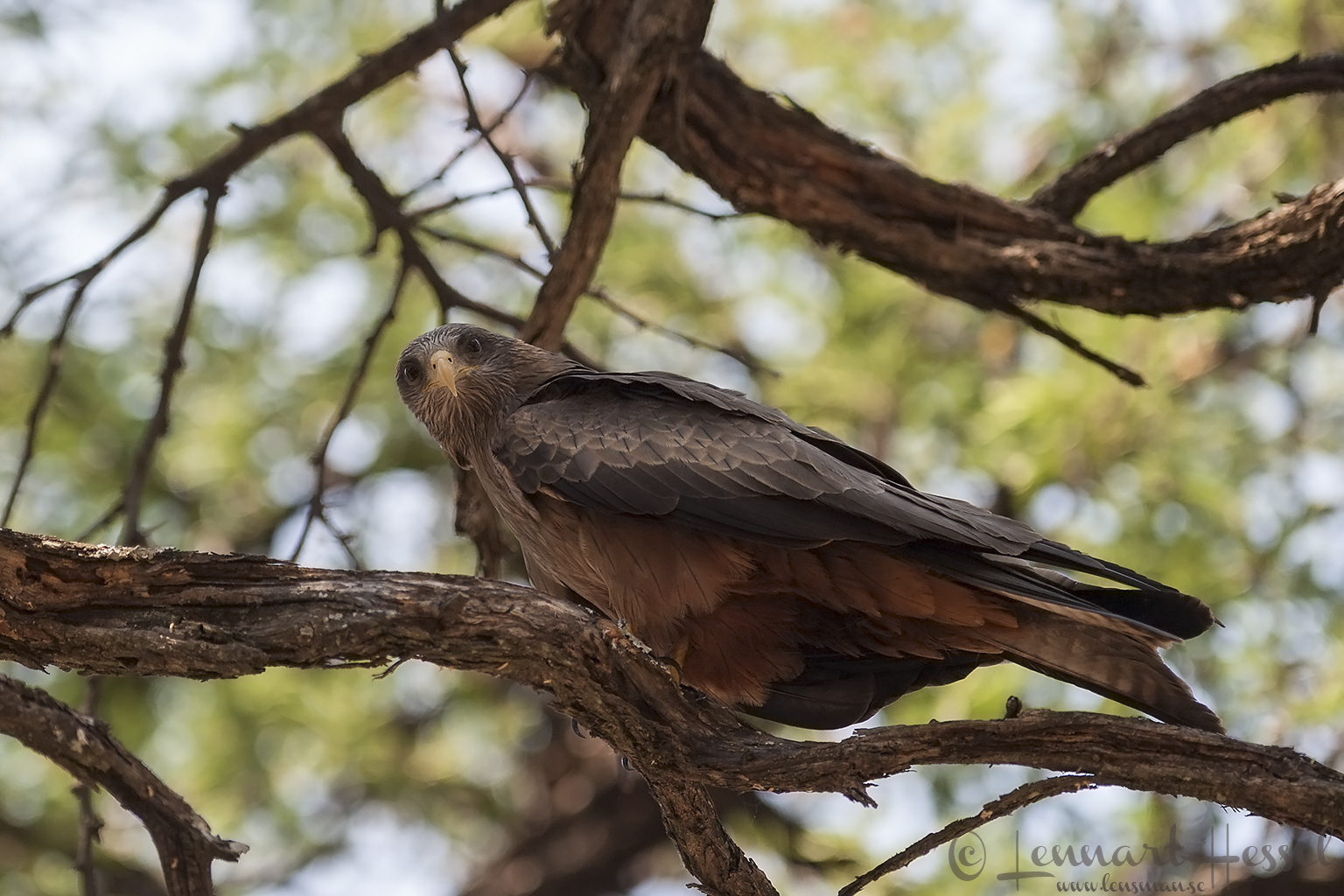 Yellow-billed Kite in Khwai Community Area, Botswana