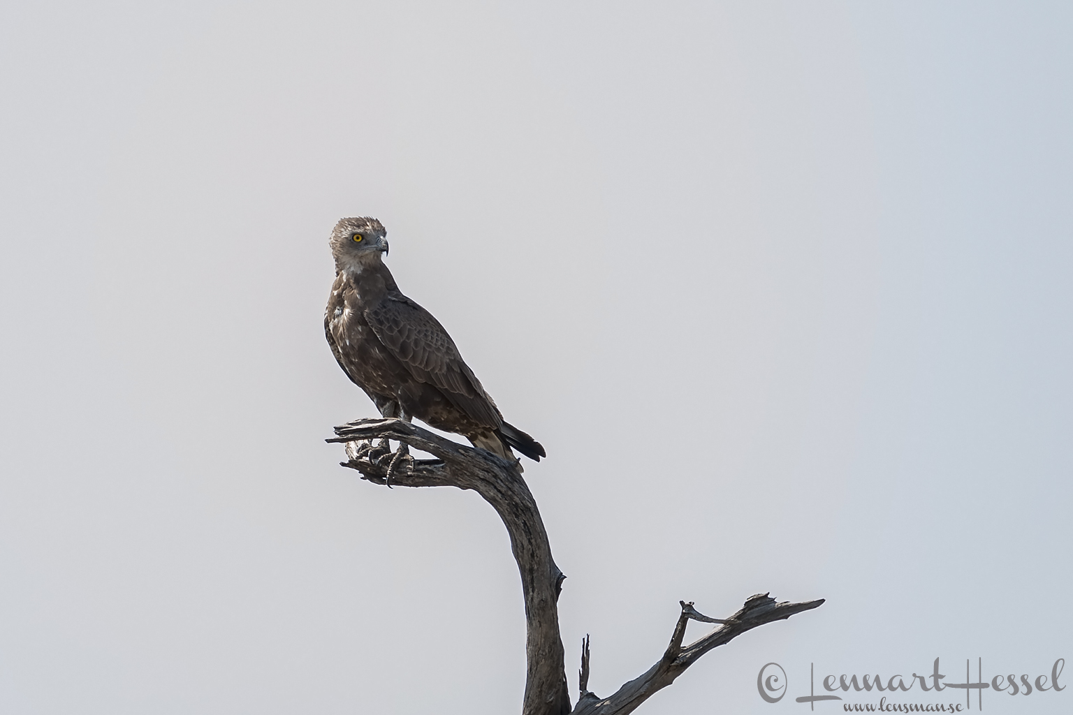 Brown Snake Eagle in Khwai Community Area, Botswana