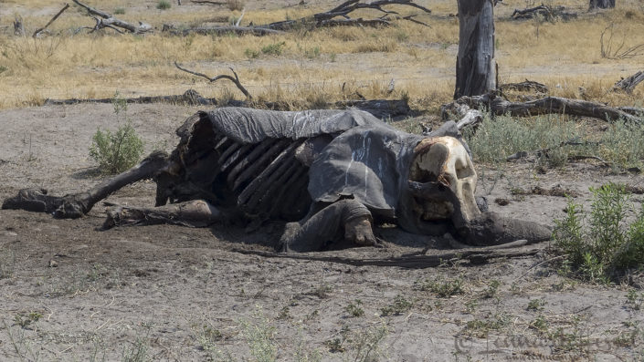 Dead Elephant in Khwai Community Area, Botswana