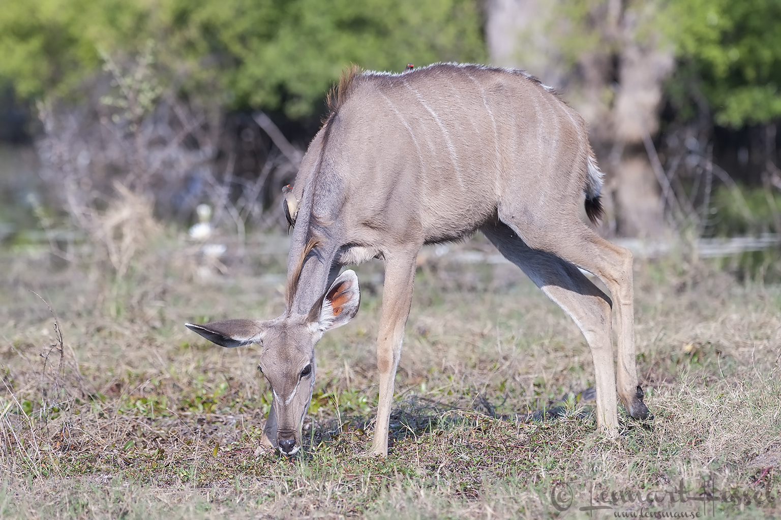Kudu and Oxpeckers in Khwai Community Area, Botswana